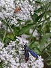 The Water Hemlock was alive with insects sipping its sweet nectar, including several Honeybees and a Blue-winged Wasp.<br /> 9-5-04