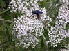 The Blue-winged Wasp crawls over the Water Hemlock umbel. <br>9-5-04