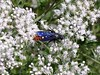 Blue-winged Wasp (<i>Scolia dubia</i>). Its wings sparkle in the sun as it  feeds on nectar from the Water Hemlock blossoms.  <br>9-5-04