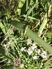 A Slender Meadow Katydid (<i>Conocephalus fasciatus</i>) waits on a grass blade, its legs casting pointy shadows.  9-20-04