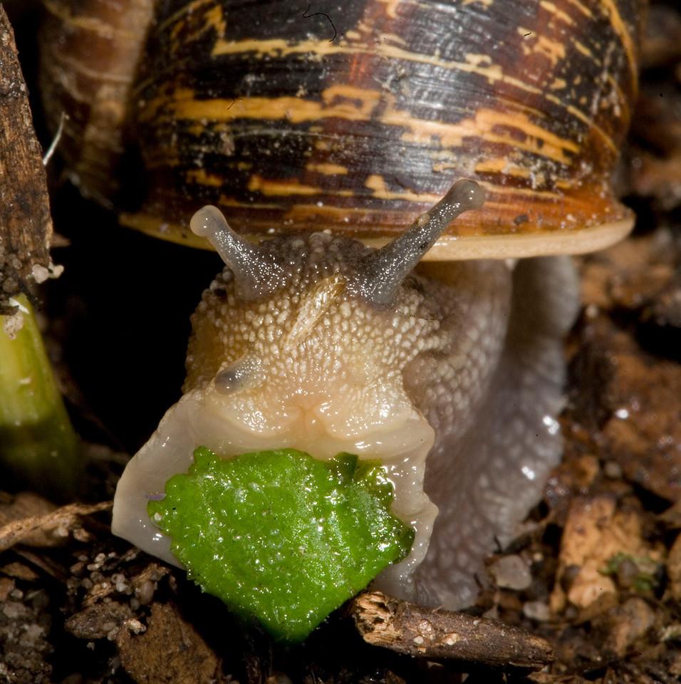 Garden snail eating lettuce