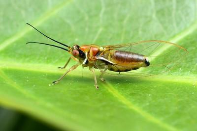 Psylloidea - Psyllid Bugs