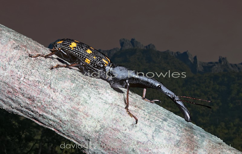 The males of some Brentid weevils are much larger than females. This SE Asian species is the largest member of the Family