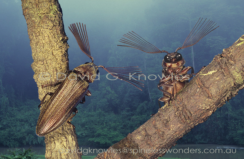 Two male feather-horned beetles face off as they have used their huge antennae to scent a nearby female which has more typical antennae