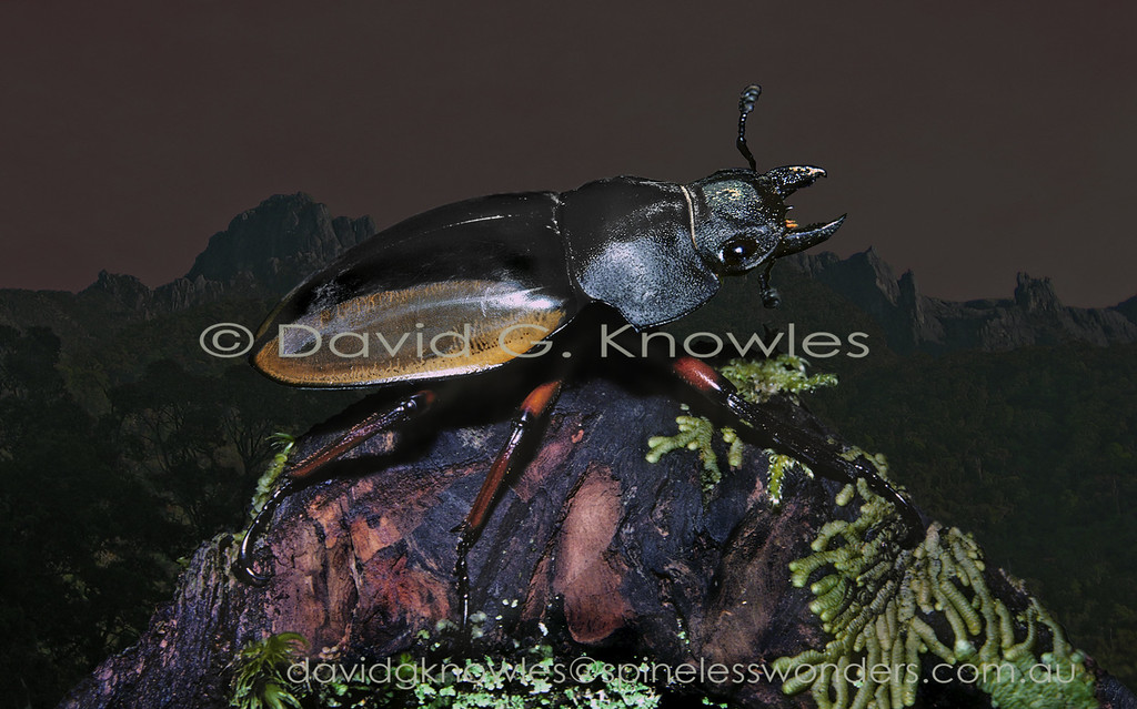 Most female stag beetles are smaller than their mates. The general rule for body size in insects is females larger than males as they carry the eggs. Males only get bigger when they are wrestlers intent on impressing females. Odontolabis femoralis waterstradti extends from Thailand, Peninsular Malaysia to Borneo then south to Sumatra Indonesia