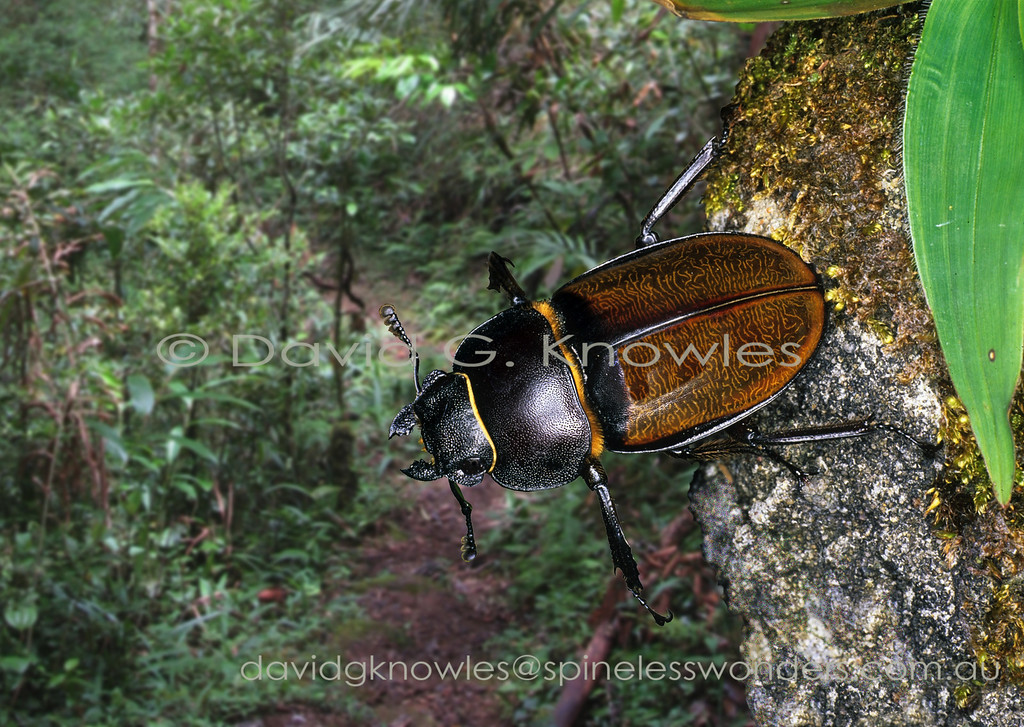 Most female stag beetles are smaller than their mates. The general rule for body size in insects is females larger than males as they carry the eggs. Males only get bigger when they are wrestlers intent on impressing females. Odontolabis cypri is endemic to Borneo