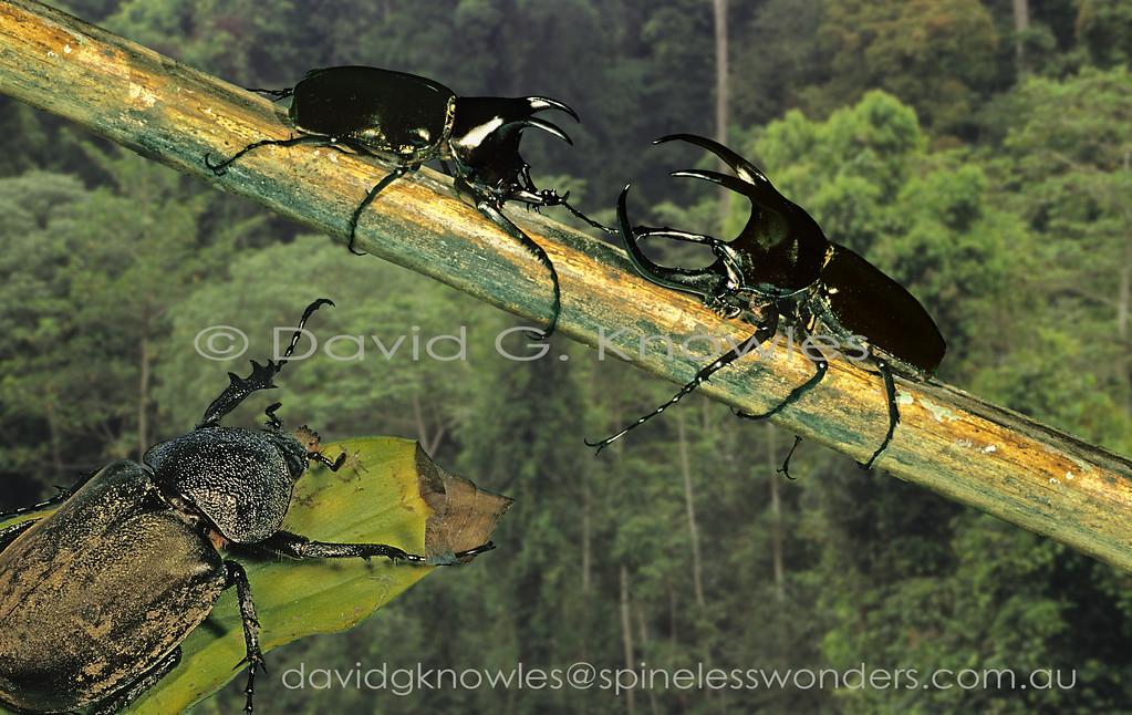 A female Three-horned Rhinoceros Beetle appears to signal the beginning of a wrestling bout. The major male on the right is likely to win the opportunity to pass his genes into the next generation