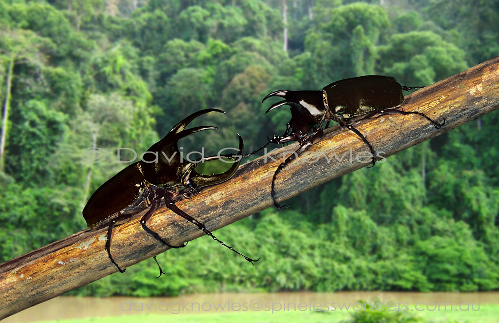Major males of Three-horned Rhinoceros Beetles are arguably the most impressive of all old world rhinoceros beetles