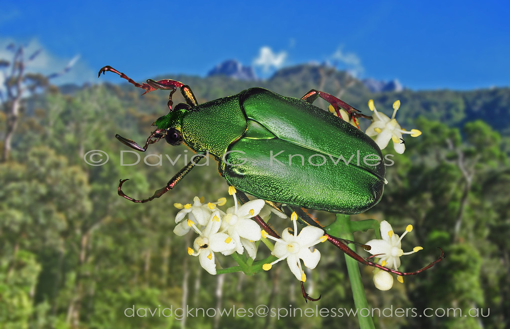 There are 15 species described for this genus of predominately green flower chafers. The males of this species bear a prominent lobed spur on the hind tibia which presumably is a mating aid