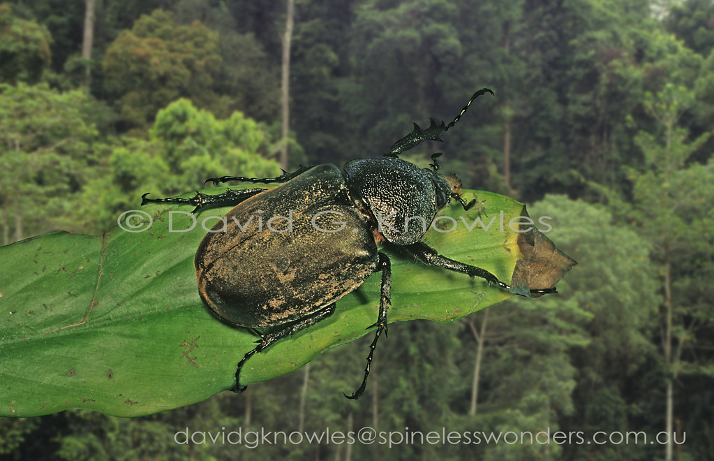 females of rhinoceros beetles are great judges of fine wrestling style. This one watches on as two males spar