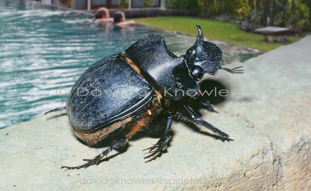 Catharsius molossus is a dung beetle used, ironically, in Chinese medicine for constipation. It is also considered to be efficacious for detoxification and swelling. The 100 species strong genus is centred in tropical Africa with the remaining 15 species occurring  in tropical Asia. The species is widely spread in South-east Asia from Afghanistan, Nepal, China, India, Thailand, Laos, Cambodia, Vietnam, Peninsular Malaysia to Indonesia, spreading as far east, over the Wallace line to the islands of Flores and Timor