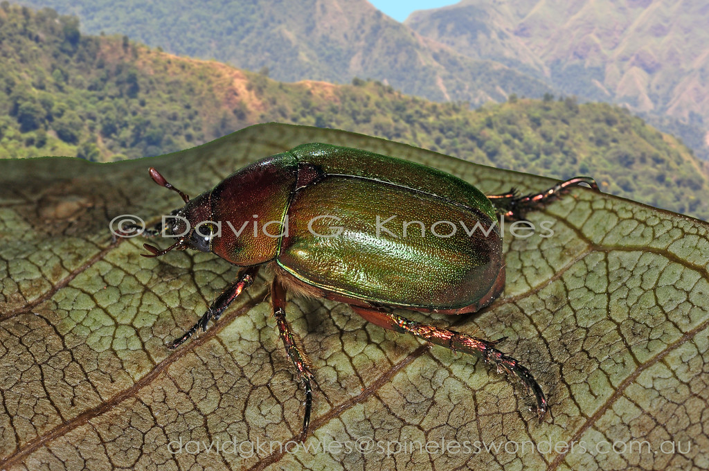 The large beetle Family Scarabaeidae contains many adults that recycle dead plant material as larvae and prune living leaves as adults