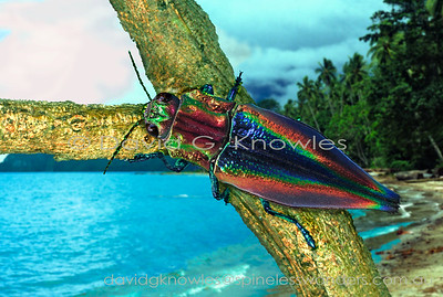 South East Asian Coleoptera (Beetles)