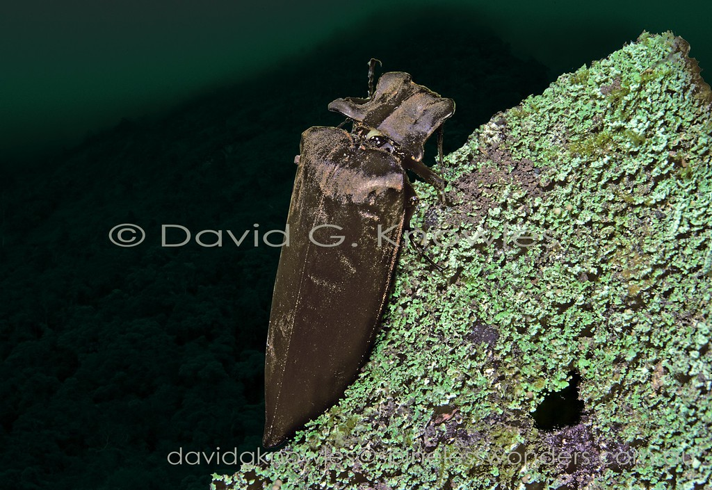 Click Beetles as a Family are generally conservative in their body forms and patterns. Whilst Sinuaria aenescens has a typically brown coloration, atypically with a 'velvet' finish, it is the form of the thorax that is highly distinctive