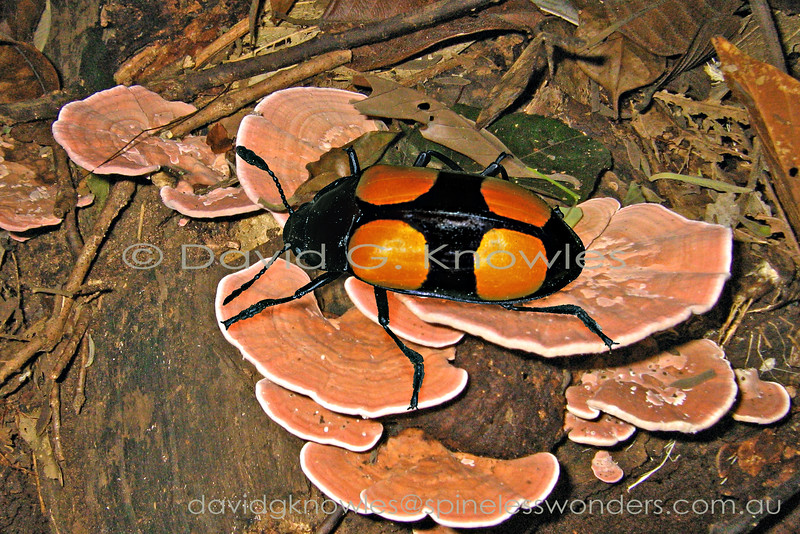 """Four huge orange blotches would normally indicate """"warning I am poisonous"""". Presumably the poison is cached from the preferred fungal species consumed by the beetle"""