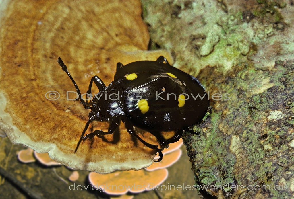 This species of Handsome Fungus Beetle from central Sulawesi is the most rounded and rimmed of the genus. Three mites can be seen on the elytra