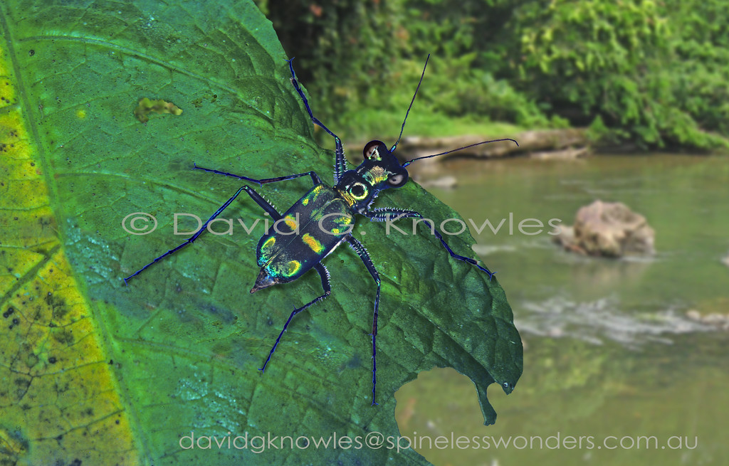 This small elegant creekside species overlooks the river bank to the right for prey, predators, mates, or competitors. It is endemic to Borneo