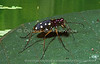 Like many rainforest tiger beetles this species is just as comfortable on a muddy river bank as it is on waterside shrubs