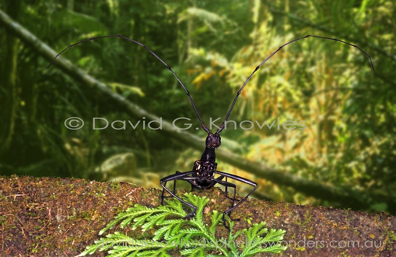 The genus Gnoma is another distinctive lineage within longhorn beetles with their long 'crinkled licorice-like necks'. Presumably this is a modification adapted for feeding????