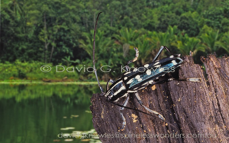 Glenea is a large genus of diurnal longhorn beetles that generally have a pied pattern of black and white.
