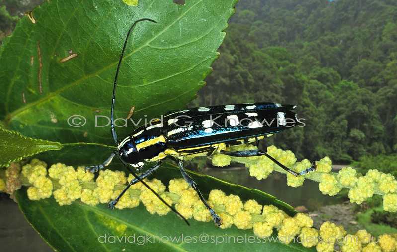 Glenea is a large genus of diurnal longhorn beetles that generally have a pied pattern of black and white