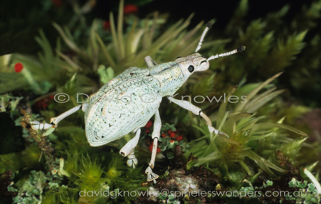 Although many weevils are clothed in waxy scales it appears that high precipitation and humidity conditions seems to indicate water-proofing