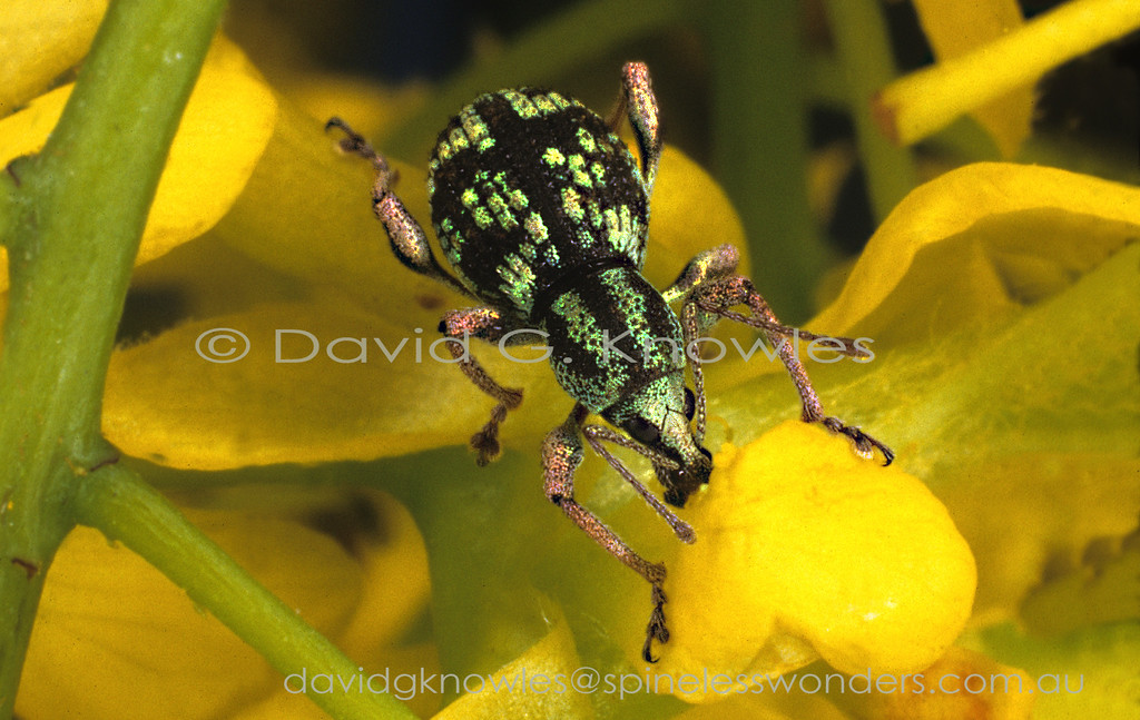 Metallic rose is not a commonly seen colour in any beetle Family let alone weevils