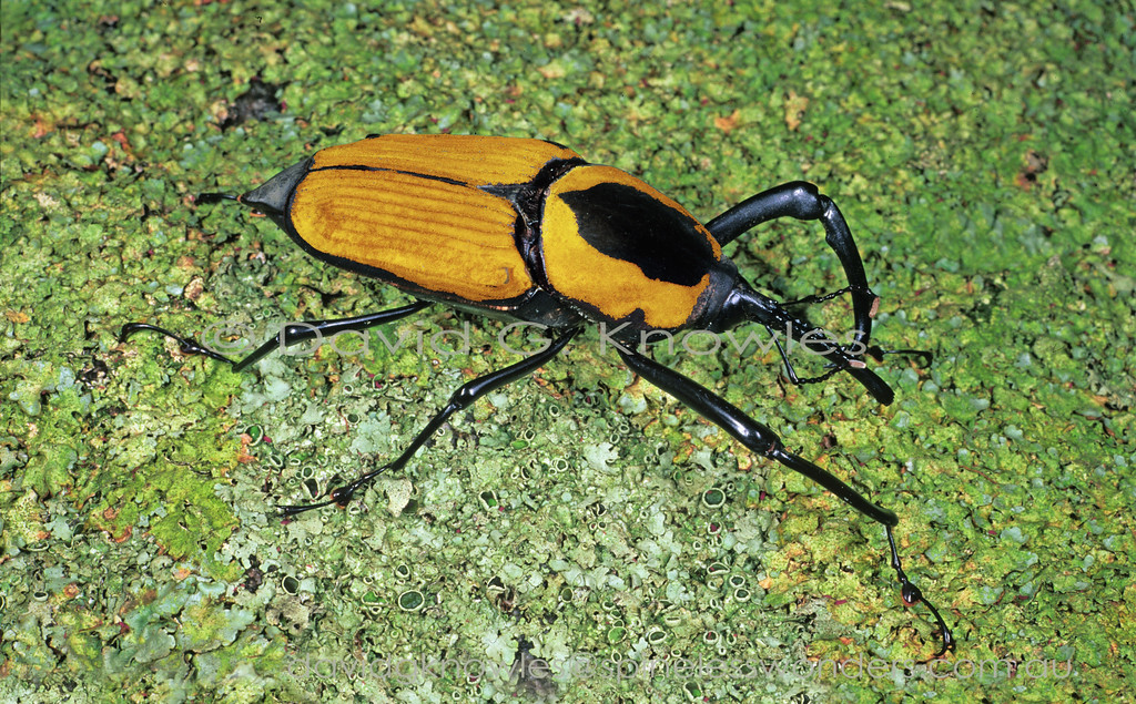 Beetles that are newly emerged from the pupa are not fully hardened and much paler than their fully dried colour are known as tenerals. This is the teneral of the giant Asian Bamboo Weevil