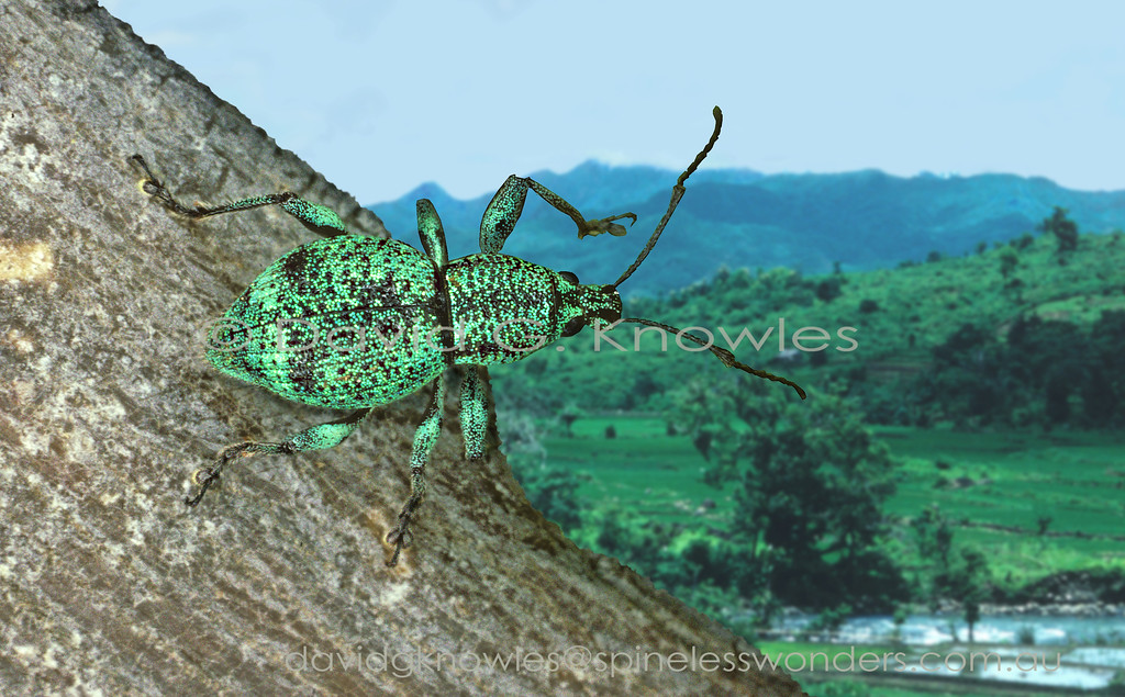 The members of this subfamily, of mainly tropical weevils, are heavily adorned with waxy scales ranging from white, yellow to even blue. However green is the most popular with species and probably blends well with leaf colour