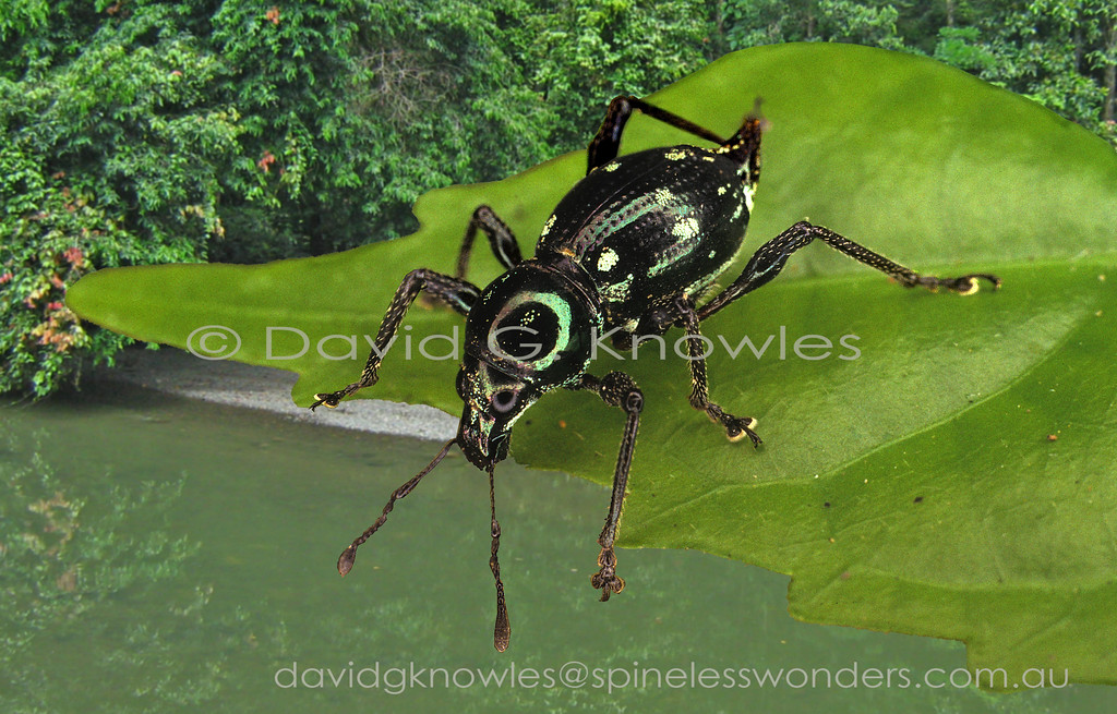 This weevil species is distinctive for its pointed end and glossy finish