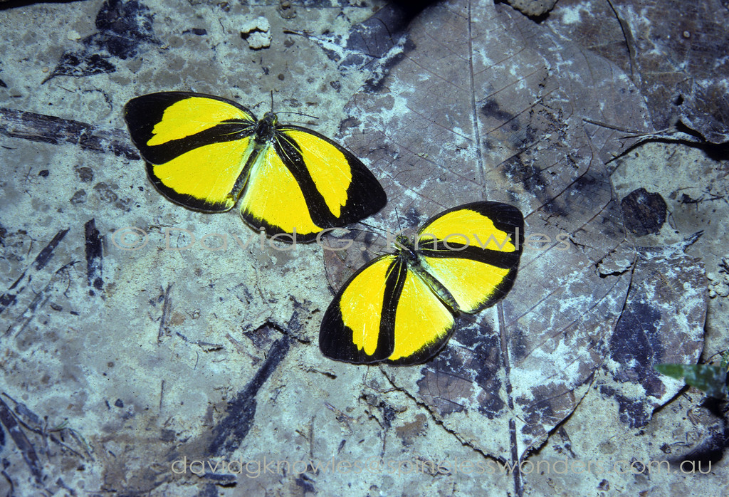 These two Asian Grass Yellows are sucking salts contained in fresh monkey urine. By all accounts the colours and pattern of this little butterfly advertise that it might have poisonous or distasteful chemicals in its body. However these butterflies are not known to contain repugnant chemicals. So are they mimicking a distasteful 'model' species? The answer is that there are no black and yellow models to mimic. The species is found in Thailand, southern Burma, Peninsular Malaysia, Borneo, and Sumatra .
