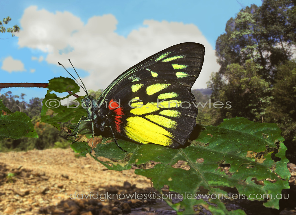 The so-called Jezebel genus (Delias spp.) many of the world's most attractive butterflies from the family Pieridae. It also rates as the largest genus of butterflies with over 250 species. The centre of biodiversity is in the heavily dissected highlands of mainland New Guinea where abutting valley systems separated by razorback ridges contain different species. This species has a typical South east Asian distribution in that it does not cross the Wallace Line between Bali and Lombok islands in eastern Indonesia even though it is quite capable of flying the 30km that separate them. The Redbase Jezebel occurs from northern India, Thailand, Vietnam, southern China, Peninsular Malaysia to the Philippines, Borneo south to Indonesia and as far east as Bali Island