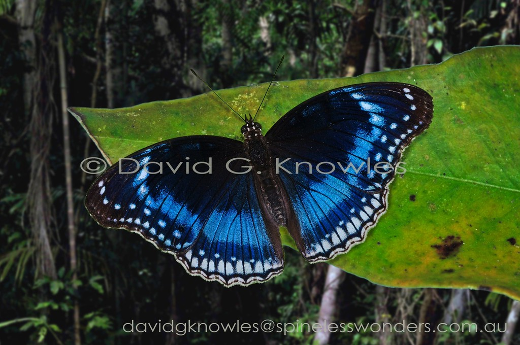 Blue-banded Eggfly males are highly territorial chasing all manner of flying animals passing through their territories, even large dragonflies and small birds. Six subspecies occur on the eastern Indonesian group of islands known as the Moluccas or 'Spice Islands'