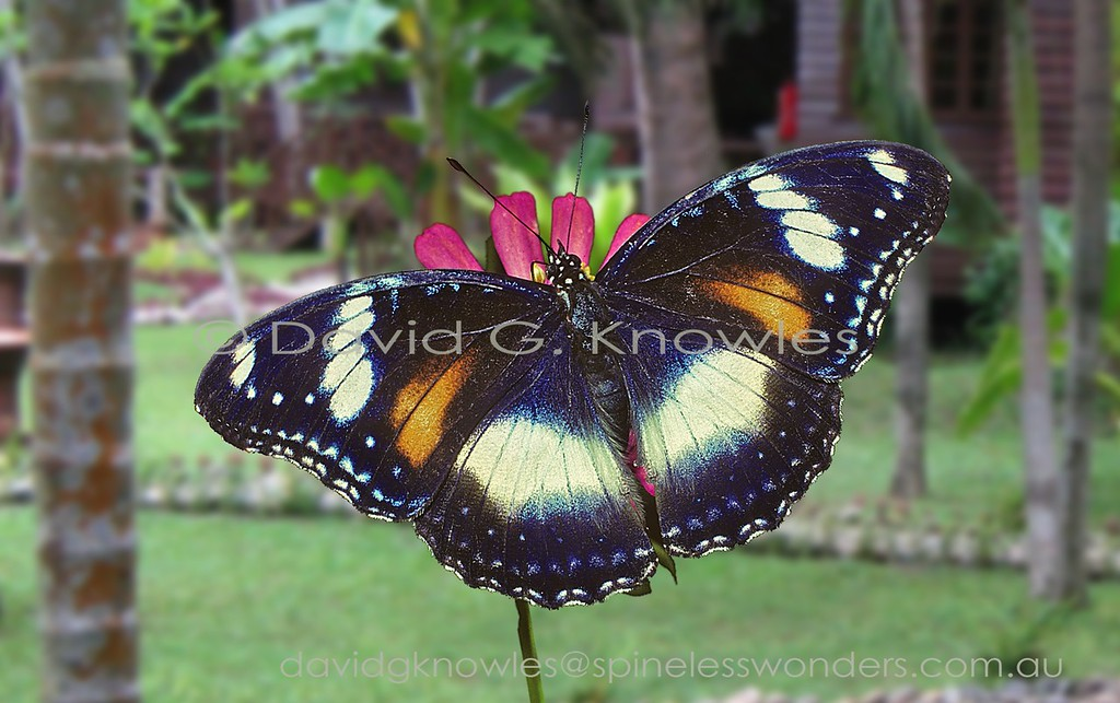 There are few butterflies that occur on Madagascar and Saudi Arabia as well as in Australasia and the south Pacific Islands. The males are consistent in their four purple-edged white blotches against a black background whereas females have the remarkable ability, at least in the eastern part of their range, to mimic or not to mimic poisonous butterflies they share habitats with. It is a mystery as to what determines this feminine choice. Maybe the density of available models (usually Crows) might be the clincher???