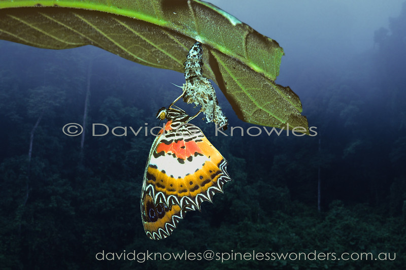 This Malay Lacewing has emerged in the early morning river mists over a Brunei rainforest. Like turning from a caterpillar into a chrysalis emerging from a chrysalis as a butterfly with shrunken wings is a vulnerable time. This is best achieved to the level of fully expanded and dried flight capable wings before the dawn chorus begins as the danger level for the butterfly will quickly increase as ambient light levels reach a stage where insectivorous birds can effectively hunt