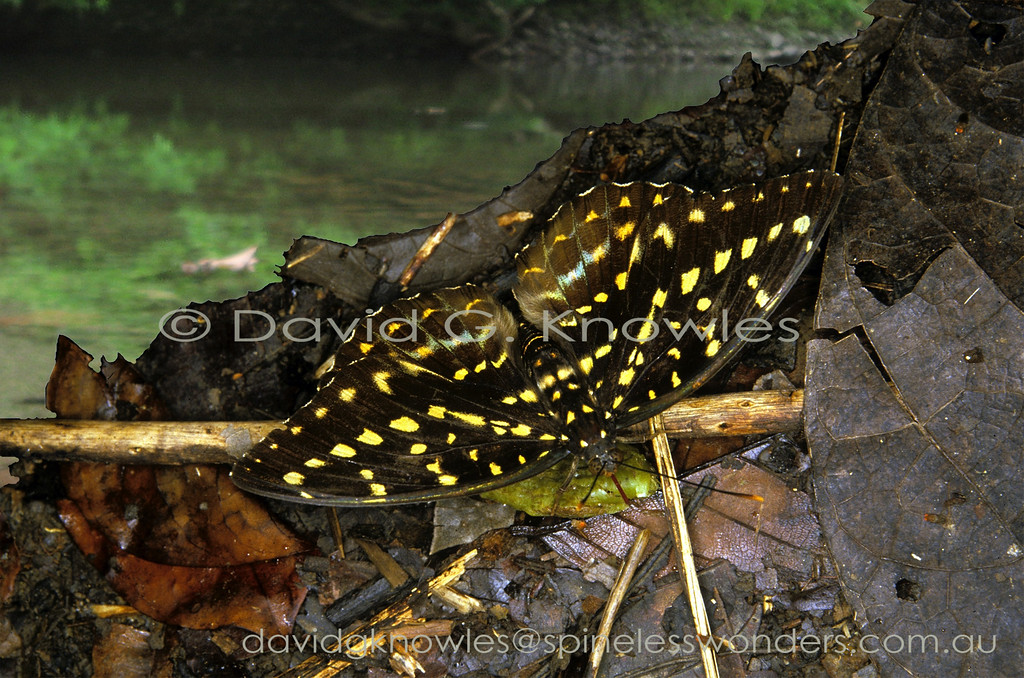 This female Archduke sips mammal urine (pig?, human?, clouded leopard?) left the night before on a nocturnal drinking foray to the creek. Lexias dirtea chalcedonides is the Borneo subspecies, one of 20 described subspecies throughout the south east Asian region. Males are strongly sexually dichromatic with blue-green wing margins. The species ranges from India, Thailand, Peninsular Malaysia and Indonesia to Borneo and the Philippines