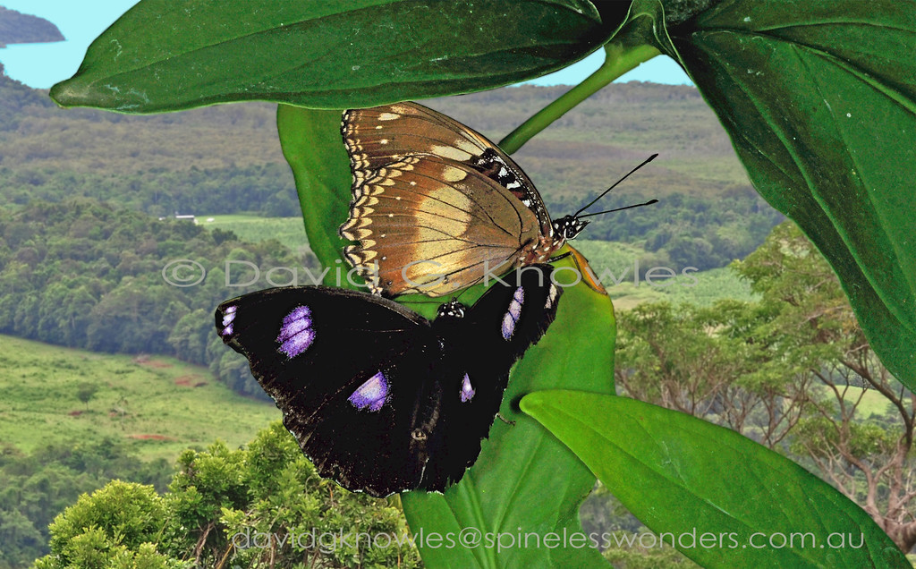 There are few butterflies that occur on Madagascar and Saudi Arabia as well as in Australasia and the south Pacific Islands. The males are consistent in their four purple-edged white blotches against a black background whereas females have the remarkable ability, at least in the eastern part of their range, to mimic or not to mimic poisonous butterflies they share habitats with. It is a mystery as to what determines this feminine choice. Maybe the density of available models (usually Crows) might be the clincher??? A amorous male has spied a female eggfly alighted on a leaf inside his territory. His hope is that she has not already mated with his competitors nearby