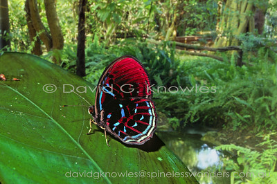 South East Asian Lepidoptera (Butterflies)