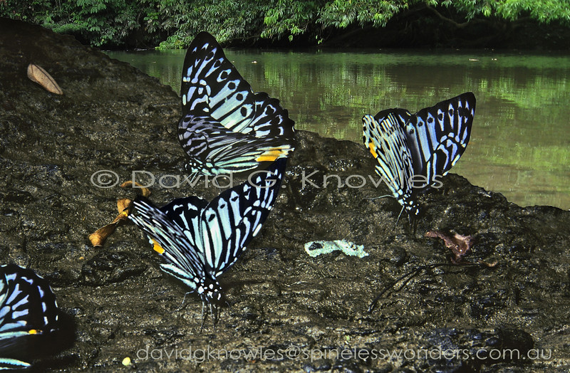 Malayan Zebras flock to the urination site of a large mammal from the previous night. The salts are prized by many animals in the saturated rainforest environment. This lineage within the concept of 'Graphium' is atypical in terms of the more rounded wing shape adopted by its members. This phenomenon appears to be linked to mimicry of the poisonous Nymphalid genus Ideopsis. Malayan Zebras range from Peninsular Malaysia and Sumatra to the Philippines and Borneo
