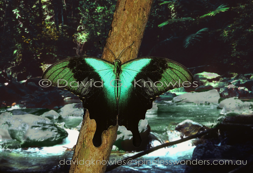 This magnificent male Sulawesi Blue Swallowtail is a pleasure to encounter as he rests in the early morning filtered light of a rainforest glade. The grey areas on the lower corners of the forewings are androconia. They are the scent scales on the wings of adult male insects that play an important role in attracting females. Papilio peranthus extends from the Philippines and Malaysia to Indonesia crossing the Wallace Line east of Borneo to Sulawesi and the Lesser Sunda Islands east of Bali