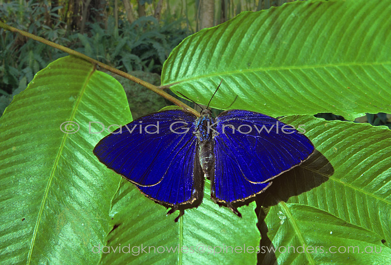 I have been unable to place this Arhopala species from southern Sarawak in western Borneo other than to put it on a shortlist of possible species. Usually these large Lycaenids alight and almost immediately close their wings thus rarely do you see the dorsal wing colour other than in strobe form as they flit through semi-shaded glades. So it was pure luck that I was able to snap this photo in the split second after landing