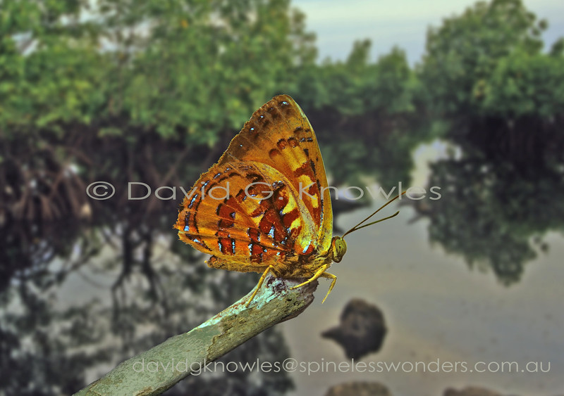 This species is the only member of its 70 species strong genus to occur west of the Wallace line between Sulawesi and Borneo. The butterfly pictured here was encountered in the ecotone between rainforest and mangrove/Nipa palm swamp. Hypochrysops coelisparsus kerri extends from southern Thailand, Peninsular Malaysia to Borneo, Indonesia as far east as Sulawesi