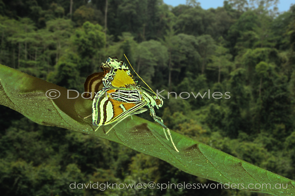 The subfamily to which this group of Crambid moths belong to are remarkable in having aquatic caterpillars. It is believed that they breath by direct absorption of oxygen through pores in the exoskeleton. The species ranges from Thailand, Peninsular Malaysia, to Borneo