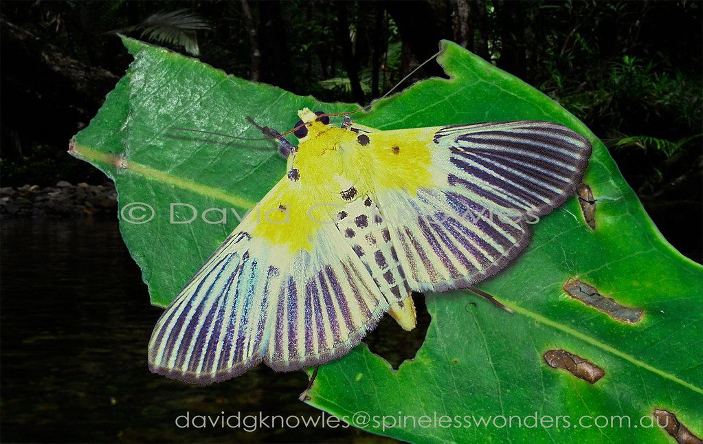 The pattern on this moth's wings is challenging to speculate upon, especially if you do not have UV sensitive eyes. Sometimes I wish I had special UV converting glasses. I can intuit that the yellow is common enough on many dead and dying tropical leaves. The black feeding scars in the yellow are also common enough on these leaves. The pearly iridescence on the outer two thirds of the wings is easy enough to explain as the prismatic reflections of sunlight off a wet surface. It is the dark rays that are causing me problems. Are they shadows cast by the ridged veins stemming from a yellow leaf in a Bali forest? I clearly need to spend more time in these forests to work this riddle out! The other possibility is that they are warning colours advertising distasteful flesh. I did manage to trace a host plant in the genus Turpinia which suggests that warning colours might advertise a bad taste for predators. Nevrina procopia extends from Sri Lanka, India and Bhutan to Taiwan, Malaysia, Philippines, Borneo, Indonesia and east to New Guinea