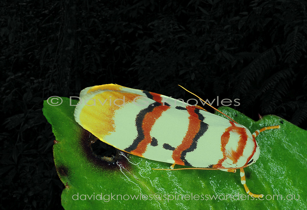 As many of the tiger moth subgroup exhibit warning colours advertising distastefulness to diurnal insect hunters, especially birds, I can only assume this living painting falls into that category. Perhaps when at rest during activity at night the strong contrast may also serve the same purpose when viewed through nocturnal predator eyes? Cyana malayensis ranges from Peninsular Malaysia to Borneo and Palawan Island