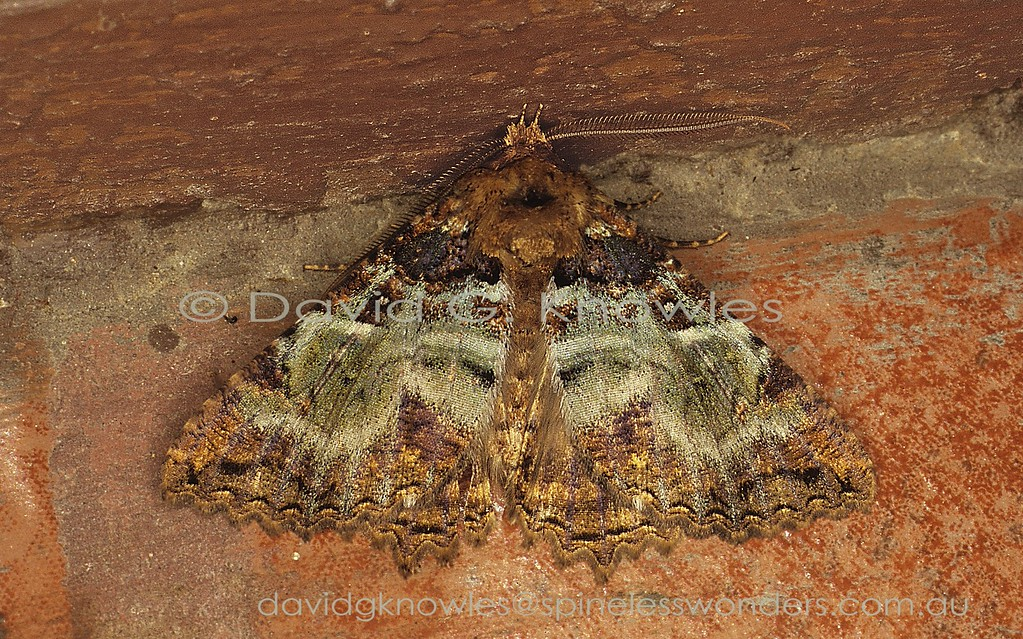 Daddala lucilla could easily be mistaken for a large Geometer moth pattern- and posture-wise. however the upturned peglike palpal tips give it away. This moth species has a range typical for the oriental region, extending from the Himalayas toTaiwan, Japan, Burma, Thailand, Malaysia, Sumatra, Java, Bali, Borneo and Sulawesi