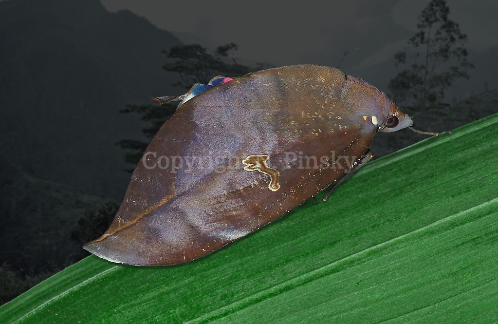 The genus name Phyllodes (leaf-like) is very apt for this large and impressive dead leaf camouflage practitioner. The caterpillar is also spectacular in size reaching up to 120.0mm and has an impressive threat display based on the fierce face of a vertebrate, arguably a large gecko. This species occurs from eastern Indonesia, New Guinea and eastern Australia to New Caledonia