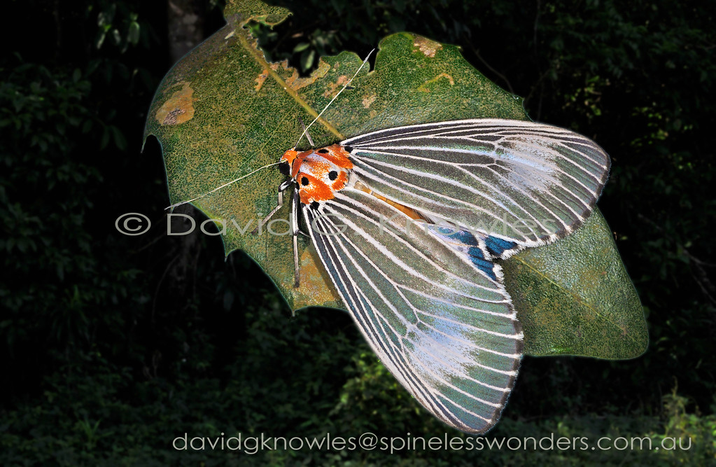 This handsome moth belongs in the small, mainly tropical, old world subfamily Aganainae. They are generally larger, more diurnal, and have longer palps than their cousin tiger moths. N. dominia ranges from India south east to New Guinea, Solomon Islands and southwards to tropical northern Australia. It is represented by many regional subspecies all of which have caterpillars that sequester bitter chemicals from their food plants