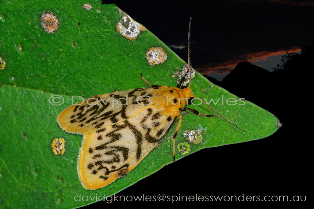 Lyclene is a genus of tiger moths centred on South East Asia, though it extends west to the Himalayas and north to China, then south east through Malaysia, Indonesia, New Guinea and into north eastern Australia. This species has interesting lateral wing tufts that in other moths serve as bat 'sonar foils'.