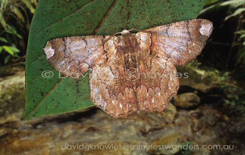 I get the feeling this moth has opted for a 'finger in two camouflage pies'. It could be convincing as a dead and fallen lichen covered leaf with white mold bite marks at the forewing tip, and hints of veins; or a lichen covered bark flake still attached or discarded. Lophophelma vines extends from the Himalayas, Peninsular Malaysia to Sumatra and Borneo